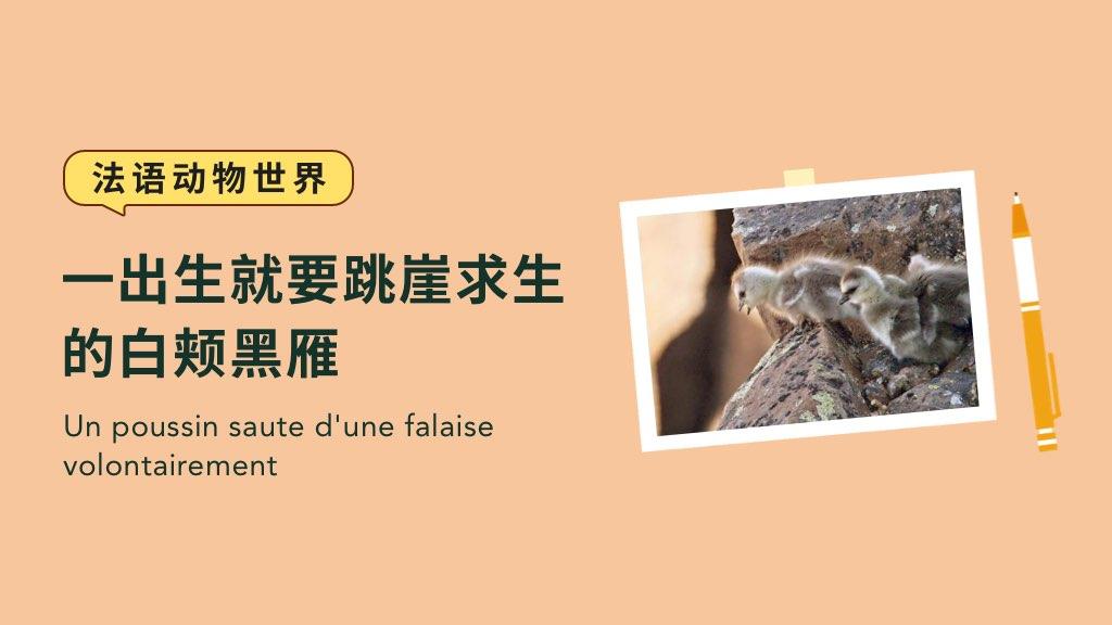 【法语动物世界】一出生就要跳崖求生的白颊黑雁