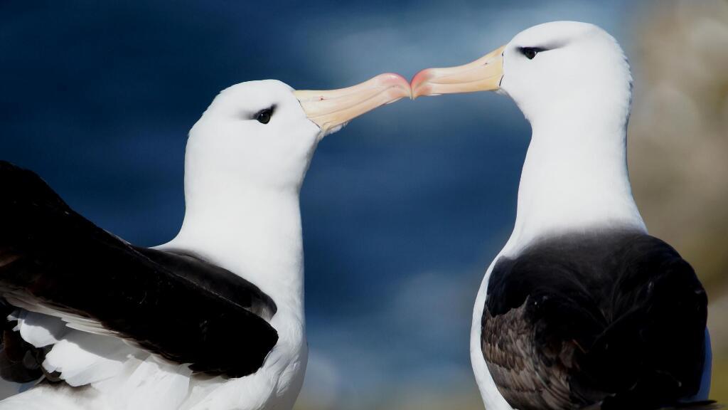 法語動物世界:信天翁的浪漫舞蹈,是愛的承諾嗎?