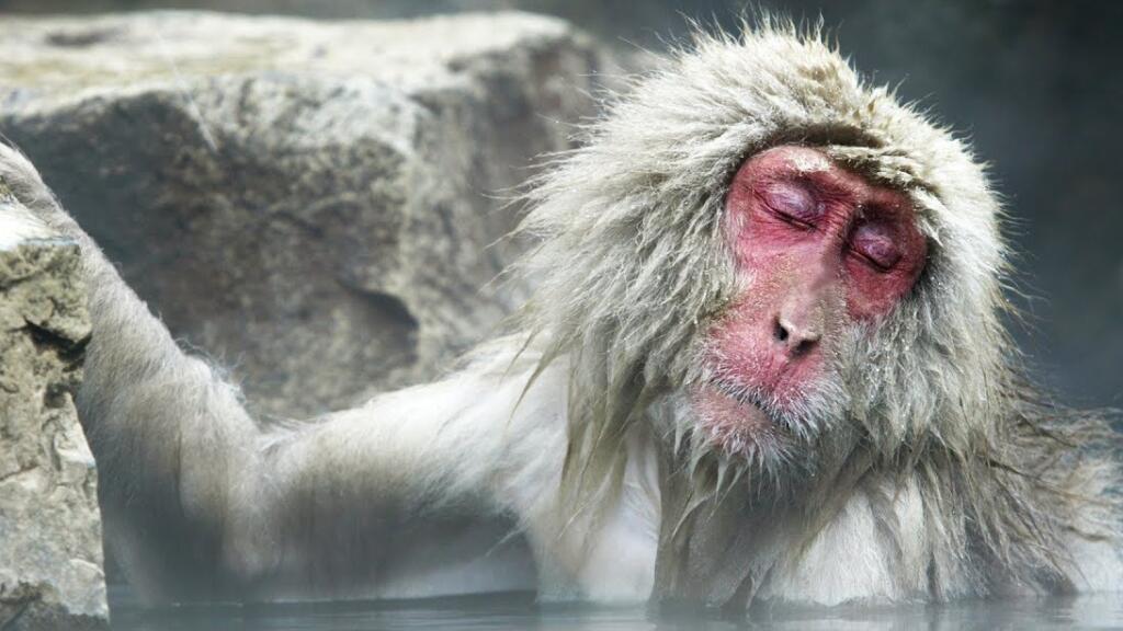 法语动物世界:原来日本的猴子还能泡温泉,太享受了吧~