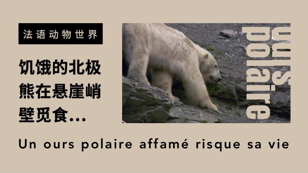 法语动物世界:浮冰消失后,饥饿的北极熊在悬崖峭壁觅食…